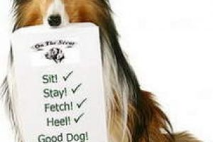 Shelti-with-obedience-cues